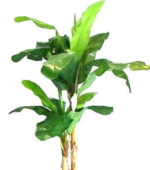 how to grow abaca plant
